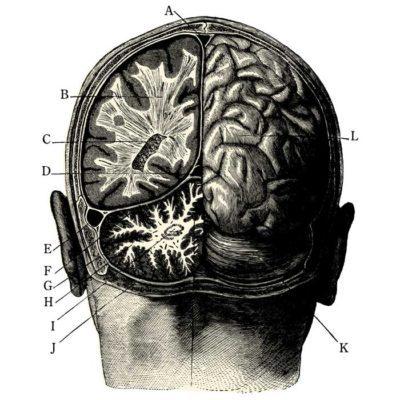 Medical brain diagram