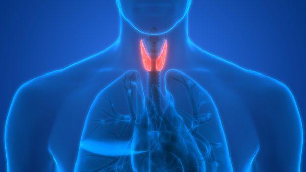 human thryoid